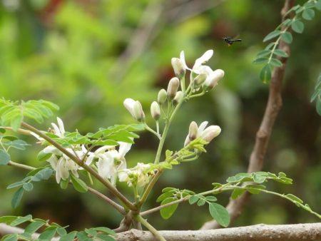 Moringa, besmrtno drvo